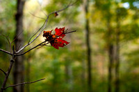 A red leaf on a branch.