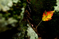 A multicolored leaf on a rock.