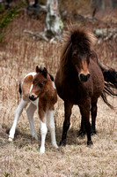 Young colt, wild horses of the Grayson Highlands