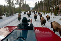 tourist on snowcoach takes pictures of running bison.