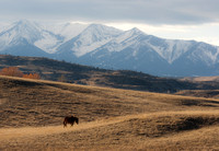 A horse grazes in a pasture near the Crazy Mountains.
