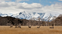 Dear grazing at the base of the Crazy Mountains.