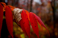 A dead leaf on a vivid Smooth Sumac showing fall colors.