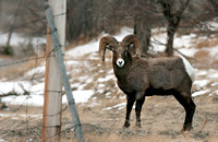 A bighorned sheep near a fence located near the Stillwater Mine.